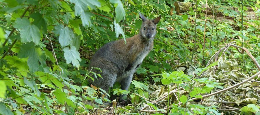 Bennett-Wallaby
